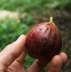 5+1 árboles frutales de rápido crecimiento