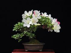 The first to bloom. Flowering Bonsai Tree, Bonsai Tree Types, Bonsai Plants, Bonsai Garden, Bonsai Azalea, Ikebana, Minis, Apartment Plants, Bloom