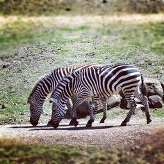 #zoo #zoom #gelsenkirchen #ruhrzoo #zebra - @haeppi- #webstagram