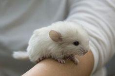 White chinchilla baby
