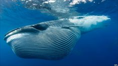 """Sei whale - Part of a gorgeous """"Great Whales"""" infographic by BBC #bbcnews Bryde's Whale, Humpback Whale, Blue Whale, Orcas, Great Whale, Baleen Whales, Fauna Marina, Sea Photography, Stunning Photography"""