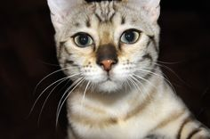 Snow Bengal cat named Locket, she's so cute, I want to always keep her close to me heart! #bengal #bengalcat #bengals #cat #cats #kitten #kittens #kitty #pets