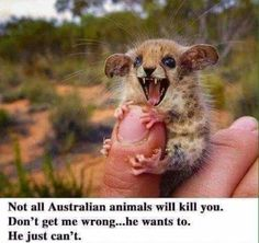 all Australian animals will kill you. Don't get me Wrang.he Wants to. – popular memes on the site Not all Australian animals will kill you. Don't get me Wrang.he Wants to. – popular memes on the site Funny Animal Photos, Funny Animal Jokes, Cute Funny Animals, Funny Cute, Funny Memes, Funny Videos, Funny Minion, Funny Morning Memes, Animal Funnies