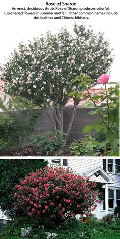 Rose of Sharon. Top - pruned to be a tree, Bottom: pruned to be a shrub, which is the most common way. Plant care: see URL.