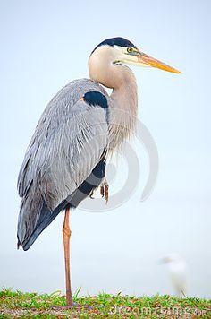 Great Blue Heron Bird Resting On One Leg Stock Photo - Image of plumage, habitat: 38149138 Bird Wall Art, Bird Artwork, Pretty Birds, Beautiful Birds, Deadly Animals, Grey Heron, White Egret, Heart Art, Bird Watching