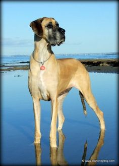 Keeping busy… | Honey the Great Dane now sadly passed away.Always followed her blog. RIP Honey from Tia.X