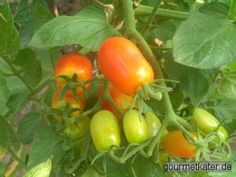 Gourmetkaters Marktplatz: Jetzt ist Zeit der Tomaten-Ernte! #gardening #food