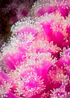 Jewel anemones (Corynactis viridis) is so-called because of its spectacular colouration. Individuals may be bright green, orange, red, pink or white and the tentacles and their tips are typically contrasting colours