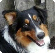 7/17/15 Shellsburg, IA - Sheltie, Shetland Sheepdog. Meet Wrigley, a dog for adoption. http://www.adoptapet.com/pet/13410773-shellsburg-iowa-sheltie-shetland-sheepdog