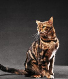 Fun Facts About Bengal Cats | PawNation