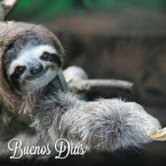 Buenos Días Panamá! Feliz Jueves a todos http://ift.tt/1CFxaEy ========================================= #panama #travel #turismo #photo #sunset #cintacostera #picoftheday #pictures #traveling #travelingram #photooftheday #picoftheday #instalike #instagood #instadaily  #panama #sloth #animallovers