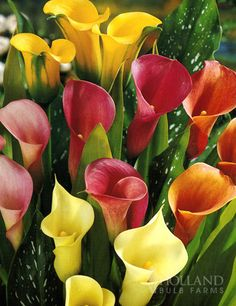 Growing my first a Calla Lilly garden this spring. Planting the bulbs first of March :)