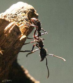 Ameisenshop Schweiz-Paraponera clavata