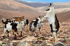 Goats are a very common sight on Fuerteventura, Ancient Fuerteventura