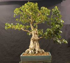 Ficus Benjamina full view - Article about advanced grafting of fig trees (Ficus).