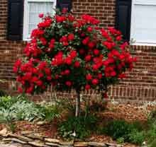 Out® Rose Tree Double Knockout Rose Tree Knockout Rose Tree, Double Knockout Roses, Southern Landscaping, Front Yard Landscaping, Landscaping Ideas, Backyard Ideas, Outdoor Plants, Outdoor Gardens, Outdoor Decor