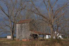 Irwinville Farms Tobacco Barn & Pecan Trees. Irwin County, Georgia.  Photograph Copyright Brian Brown Vanishing South Georgia USA 2014