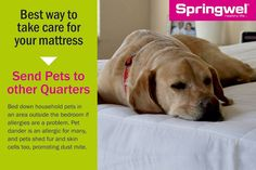 #SpringwelTip: If #allergies are a problem, bed down your pets outside your #bedroom. #springwel #mattress  Get a #health checkup done for your mattress now to find out whether it's #healthy or not? CALL US AT: 9555221100 & book a free #healthcheckup for your mattress NOW! Image may contain: dog and text