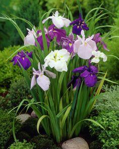 Iris ensata mix- They like moist areas & bloom in Summer.