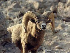 #Baja Bighorn Sheep / Hermoso Borrego cimarrón #Loreto