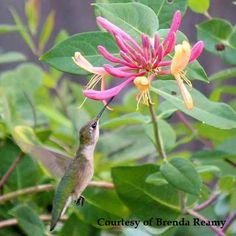 Nature's own hummingbird feeder.