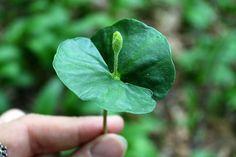 Spoznajte a ochutnajte bukové semenáče - Záhrada.sk Ale, Plant Leaves, Plants, Ale Beer, Flora, Plant, Ales, Planting, Beer