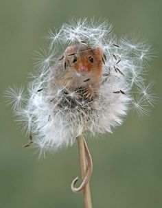 Harvest mouse shared by via / r / wallpapers . - Harvest mouse shared by via / r / wallpapers … – animals- - Cute Little Animals, Cute Funny Animals, Nature Animals, Animals And Pets, Beautiful Creatures, Animals Beautiful, Harvest Mouse, Photo Animaliere, Cute Mouse