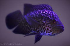 #purple #fish Jaguar Cichlid by mattTIDBALL.deviantart.com on @DeviantArt