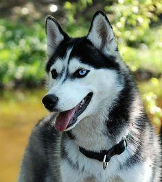 Le Husky de Sibérie est un chien au poil dense
