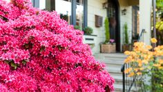 Discover the Power of Azaleas from Lowes. Slide show of varieties at the bottom of the article.  Love Girard's Christina.