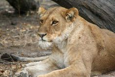 Wild and Free by Sara Barnaby on Etsy Wild And Free, Lion, Great Gifts, Cats, Animals, Projects, Leo, Gatos, Animales