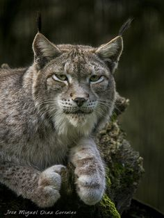Lince boreal by Josemigueldiazcorrales