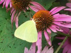 A sulphur nectars on a purple coneflower in diann's garden in Pontotoc,Ms.