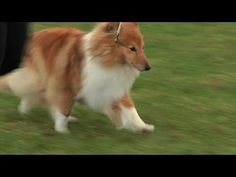 Southern Counties Championship Dog Show 2013 - Pastoral group