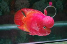 Flowerhorn (Rare White Eye)