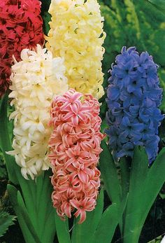 Hyacinths~  If of thy mortal goods thou art bereft  And 2 loaves alone to thee are left~  Sell one and with the dole...  Buy hyacinths to feed the soul~!!