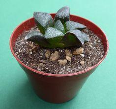 Haworthia bayeri x atrofusca in pot 5,5 cm, the second seedling, different features
