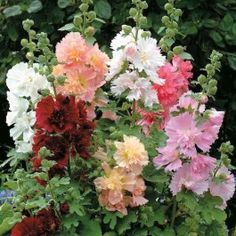 Shop for Hollyhock Seeds by the Packet or in Bulk.Com offers the Finest and Freshest Hollyhock Flower Seeds Anywhere. Hollyhocks Flowers, Flowers Perennials, Planting Flowers, Flower Gardening, Growing Hollyhocks, Flowers Garden, Container Gardening, Gardening Tips, Bonsai Plante