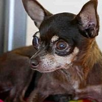Pictures of *EVIE a Chihuahua Mix for adoption in Austin, TX who needs a loving home.