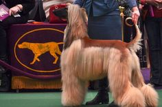 Afghan Hound, Westminster Dog Show. Photo by Ernie Slone, DOGFANCY