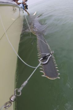 Sawfish- omg!! I had no idea these existed... Another reason not to go into the ocean!