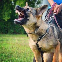 My little princess in training  ❤❤ #GermanShepherd #GSD #OwczarekNiemiecki #WorkingDog #workingdogsofig #germanshepherdsofinstagram #gsdstagram #instagsd #gsdsofigworld #gsdloverss #instadog #dogstagram #polishdog #warsawdog #pies #dogtraining #IPO #aktywnizpsami @gsdsofigworld @gsdstagram @thegermanshepherdworld @germanshepherdfanpage @germanshepherdcentral @germanshepherds.gsd @workingdogsofig @dogs_at_work