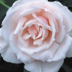 "Sweet Afton, Soft pink buds open into high centered, large double 5"" blooms (petals 20+) of pearlescent-white with a pale pink reverse. The heady perfume is truly magnificent. A tall bushy continually blooming plant with dark-green leathery foliage."