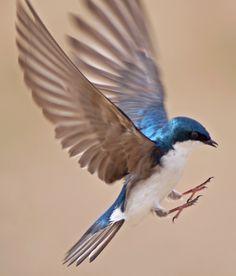 Tree Swallow - null