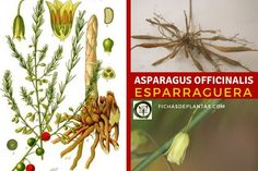 Asparagus, Green Beans, About Plants, Thorny Bushes, Flowering Plants, Medicinal Plants, Growing Up, Vegetable Garden, Gardens