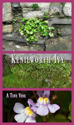 A perfect tiny vine with purple flowers. Great for shade & moist mossy areas. http://www.thehypertufagardener.com/plant-list-kenilworth-ivy/ via @hypertufagarden