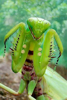 dunia serangga By: Yan Hidayat #mantid #mantis