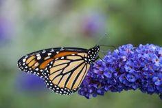 Which Flowers Do Monarch Butterflies Like?: Butterfly Bush