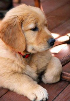 Regal Golden Retriever puppy