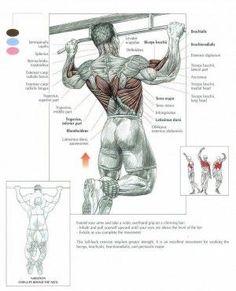 pullup anatomy
